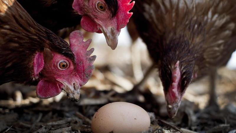 Hühner betrachten ein Ei auf einem Bauernhof in Deutschland. Foto: Victoria Bonn-Meuser/dpa/Illustration
