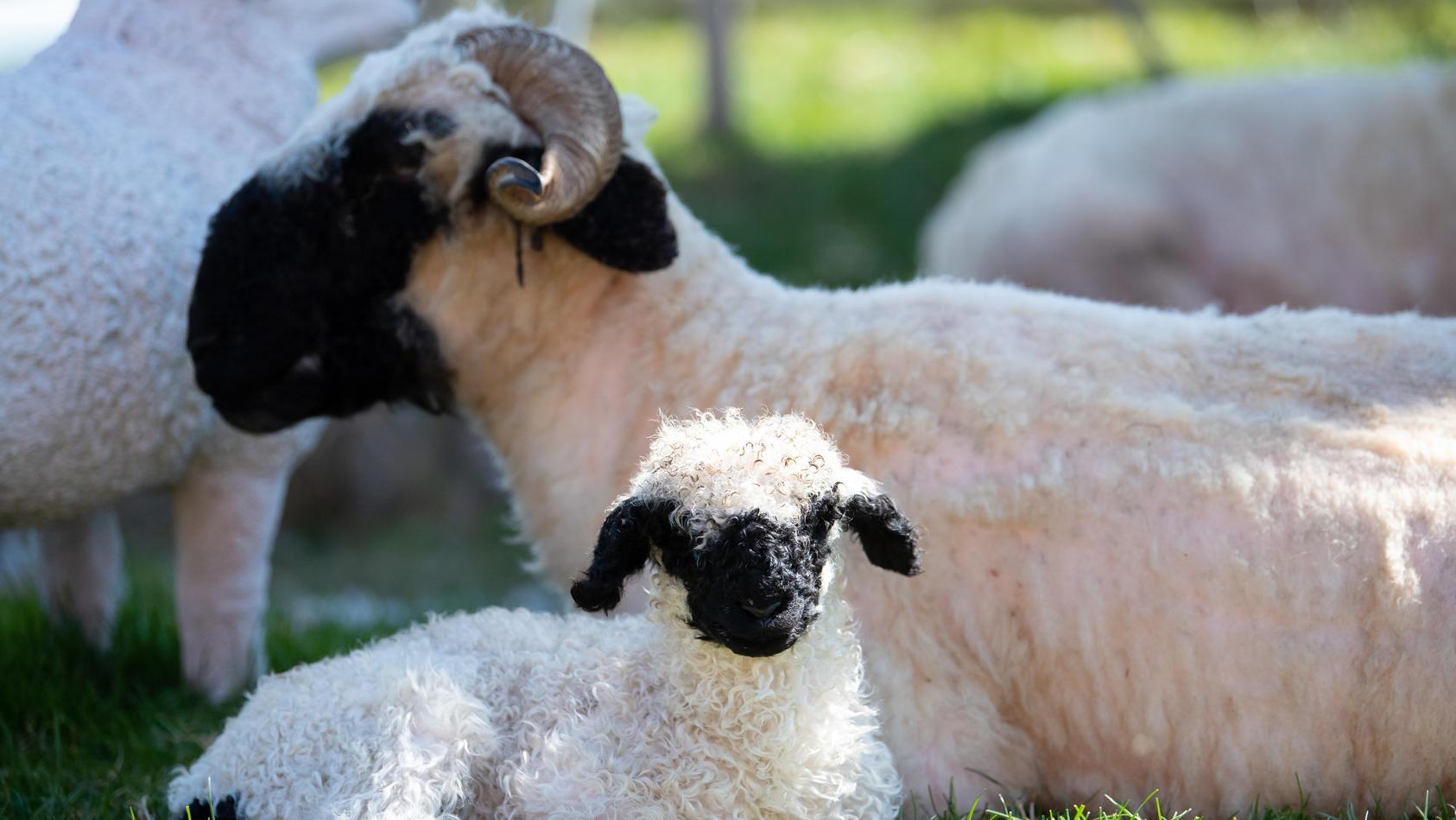 Schafe auf dem Dach