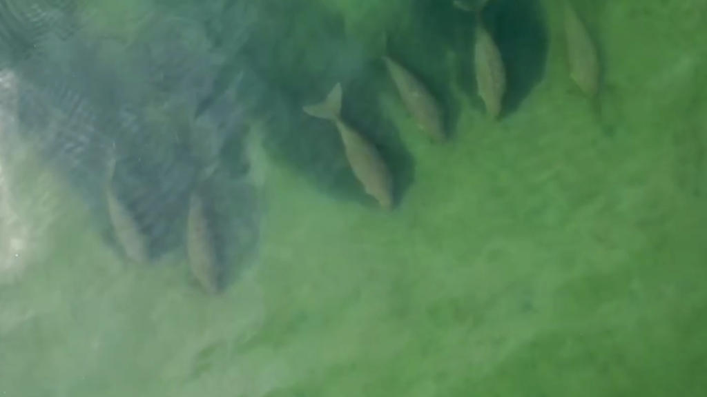 In this image taken from video taken April 22, 2020, by Thailand's Department of National Parks, Wildlife and Plant Conservation, six dugongs are swimming together, part of a larger group of dugongs cruising slowly in the shallow waters in the area