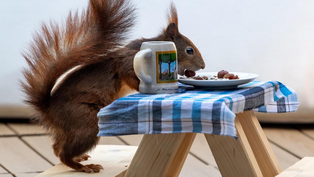 06.05.2020, Bayern, München: Ein rotes Eichhörnchen futtert auf einer extra angefertigten kleinen Bierbank, die auf einem Balkon steht, Nusskerne von einem kleinen Teller. Die Holzkonstruktion haben sich befreundete Kinder der Familie einfallen lasse