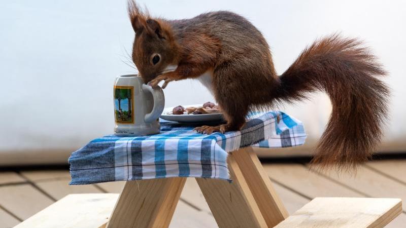 Ein Eichhörnchen futtert auf einer extra angefertigten kleinen Bierbank Nusskerne von einem Teller. Foto: Peter Kneffel/dpa/Archivbild