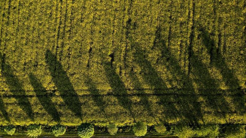 Eine Baumreihe wirft bei untergehender Sonne lange Schatten auf ein Rapsfeld. Foto: Christophe Gateau/dpa/Symbolbild