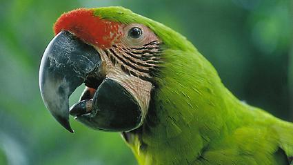 Ein grüner Papagei wie dieser wurde Zeuge des Mordes.