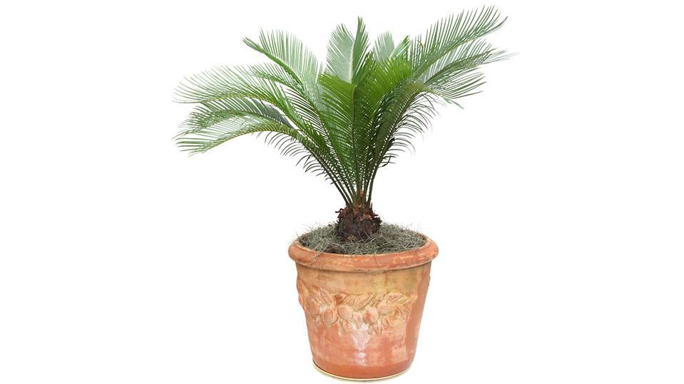 Symbolbild einer Sagopalme