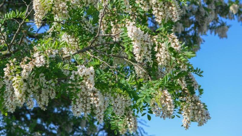 Im Frühjahr bildet die Robinie weiße Blütenstände, die traubenartig von der Krone herabhängen. Foto: Patrick Pleul/dpa-Zentralbild/dpa-tmn