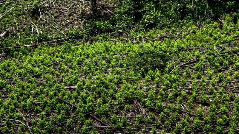 Luftaufnahme einer Kokaplantage im kolumbianischen Tumaco. Foto: Diego Pineda/colprensa/dpa