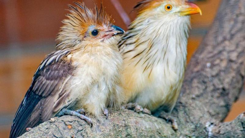 Im Zoo Dortmund sind erstmals zwei Guirakuckucke geschlüpft (Foto vom 25.05.2020). Foto: Marcel Stawinoga/Stadt Dortmund/dpa/Archivbild