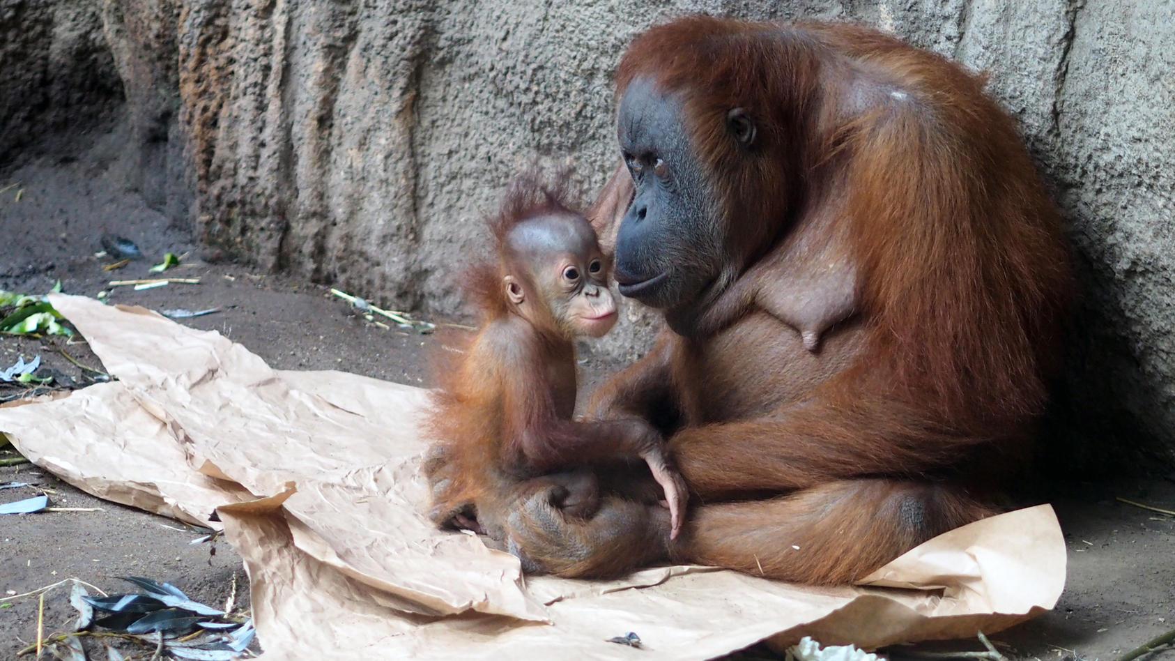 Affen-Mutter Pini hat im April ihr Baby Rima verloren.