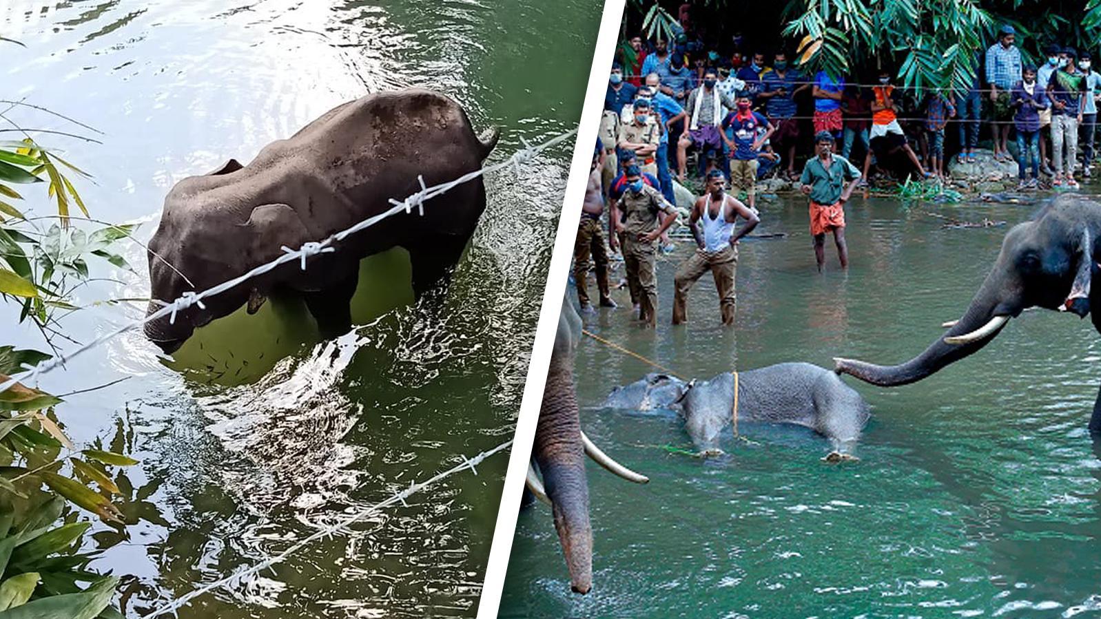 Grausame Tat in Indien: Eine Elefantenkuh wird mit einer explosiven Ananas gefüttert und stirbt.