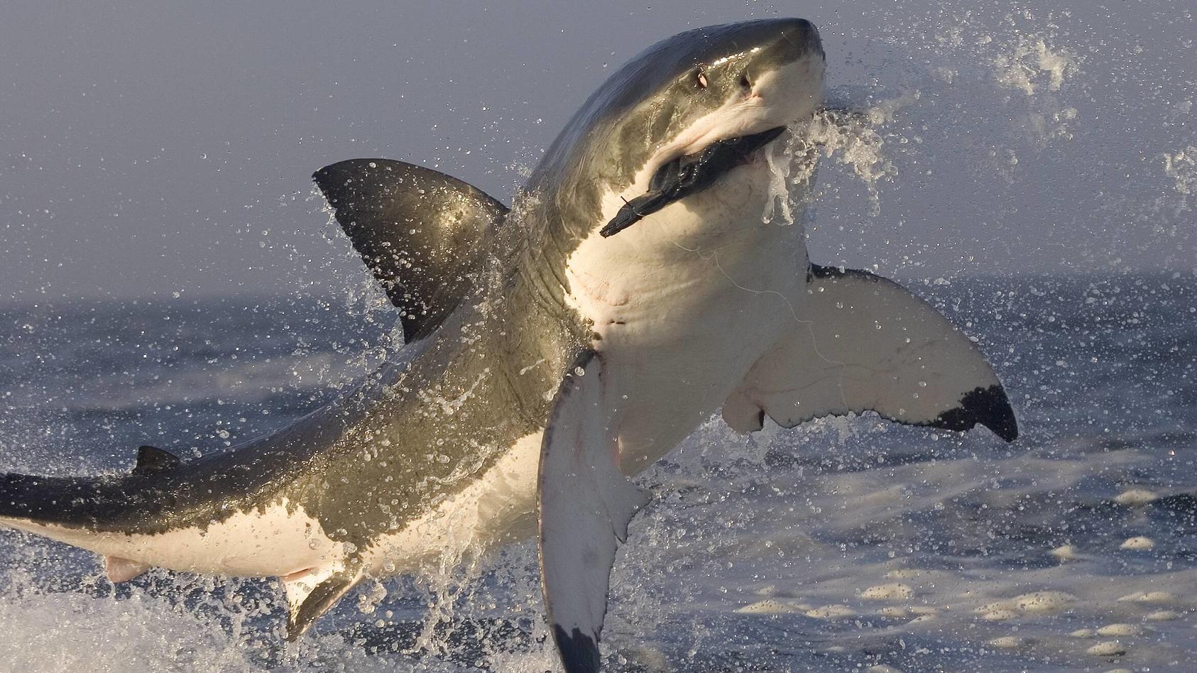 Das hier ist kein Seeungeheuer, sondern ein weißer Hai.