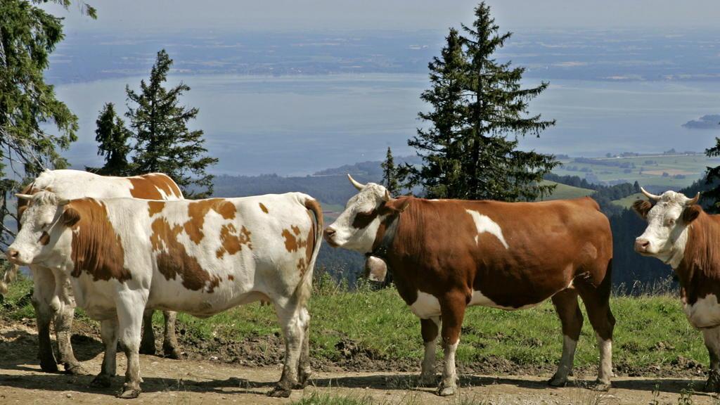 ARCHIV - 27.07.2011, Marquartstein: Das Almvieh hat auf der Piesenhausener Hochalm oberhalb Marquartstein im Landkreis Traunstein (Oberbayern) eine Weide mit Seeblick. Die Alm liegt auf 1350 Meter Höhe unter dem Gipfel der Hochplatte. Kühe und Wander
