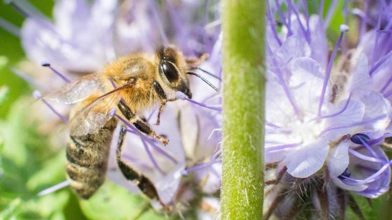 Eine Biene sitzt auf einem Blühstreifen am Rande eines Feldes. Foto: Julian Stratenschulte/dpa/Symbolbild