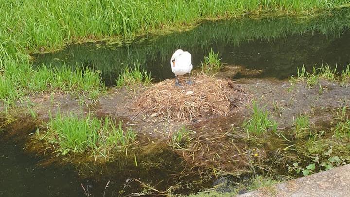 Schwan stirbt an gebrochenem Herzen: Jugendliche und andere Tiere zerstören sein Nest.