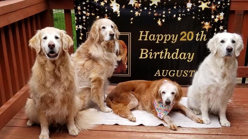 Ältester Golden Retriever Augie feiert Geburtstag