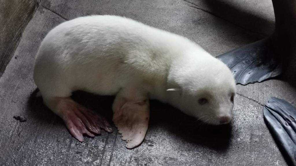 HANDOUT - 17.06.2020, Hamburg: Ein weißes Südamerikanisches Seebärenbaby liegt in einem abgetrennten Gehegebereich des Eismeers im Tierpark Hagenbeck. Das Albino-Seebärenbaby wurde am 15. Juni geboren. (zu dpa «Erstes Albino-Seebärenbaby im Tierpark
