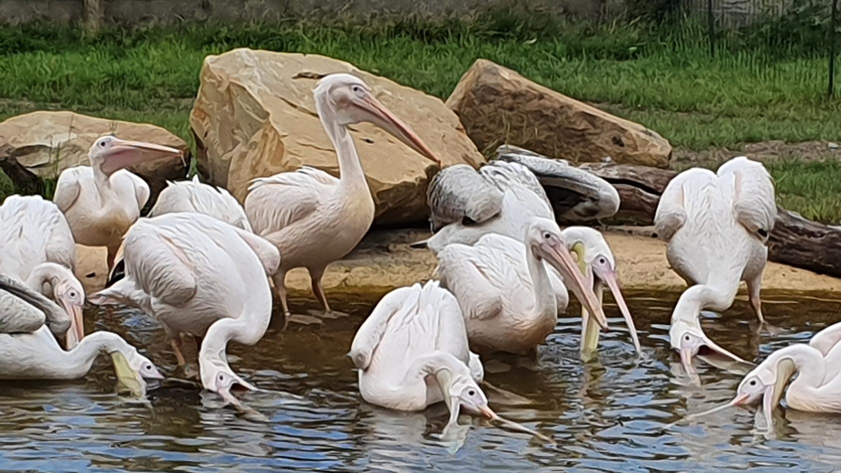 Der Krefelder Zoo eröffnet die Pelikanlagune für zwölf rosa Pelikane.