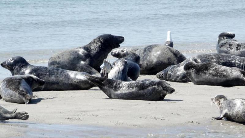 Robben liegen am Strand. Foto: Carsten Rehder/dpa/Archivbild