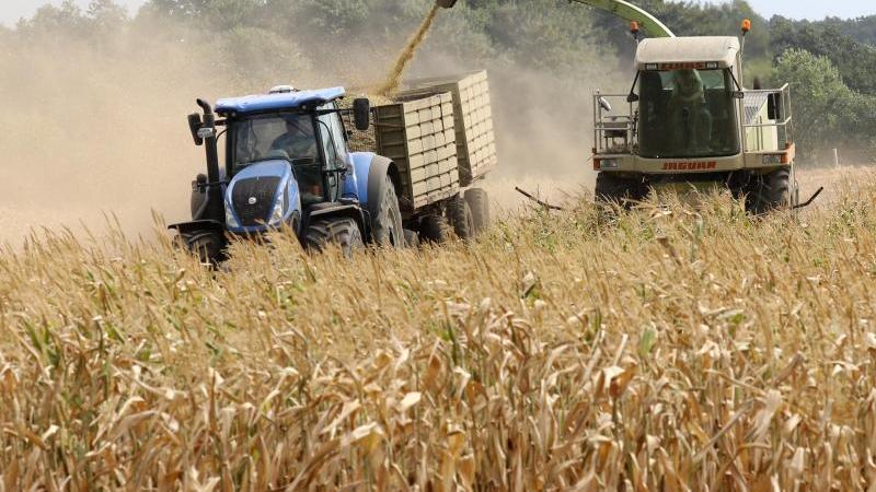 Vertrockneter Mais wird auf einem Feld geerntet. Foto: Bernd Wüstneck/dpa/Archivbild