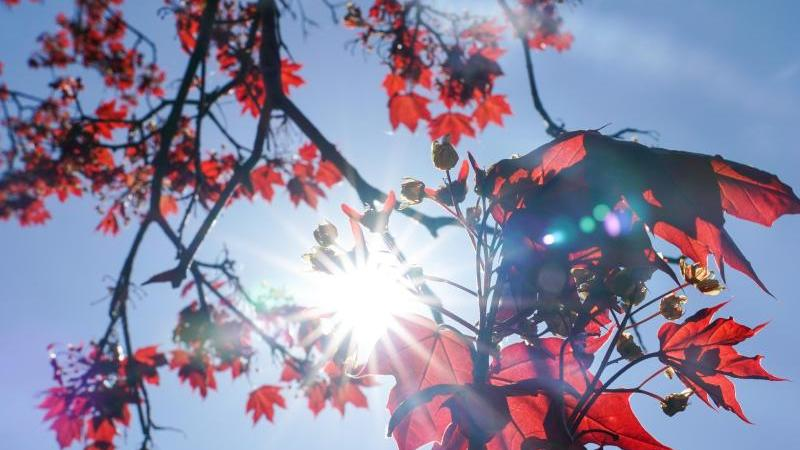 Die Sonne strahlt durch die roten Blätter eines Rot-Ahorns. Foto: Peter Endig/dpa-Zentralbild/dpa/Symbolbild