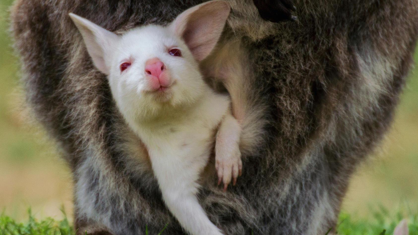 Ein Albino-Känguru-Baby schaut aus dem Beutel seiner Mutter.
