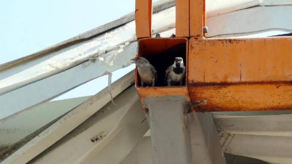 Weil bei einer Baumarkt-Sanierung offenbar die Nester von mehr als hundert Haussperlingen zerstört wurden, herrscht zwischen Hornbach und Naturschützern dicke Luft.