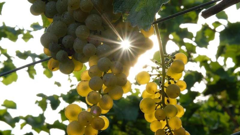 Eine Traube der Sorte Weißburgunder hängt an einer Weinrebe. Foto: Sebastian Willnow/dpa-Zentralbild/dpa