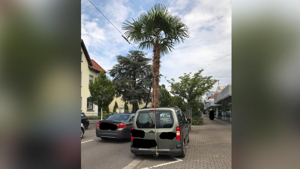 Aus einem Auto ragt eine Palme. Ein 55 Jahre alter Mann ist wegen einer ungewöhnlicher Ladung in Saarlouis von der Polizei angehalten worden.
