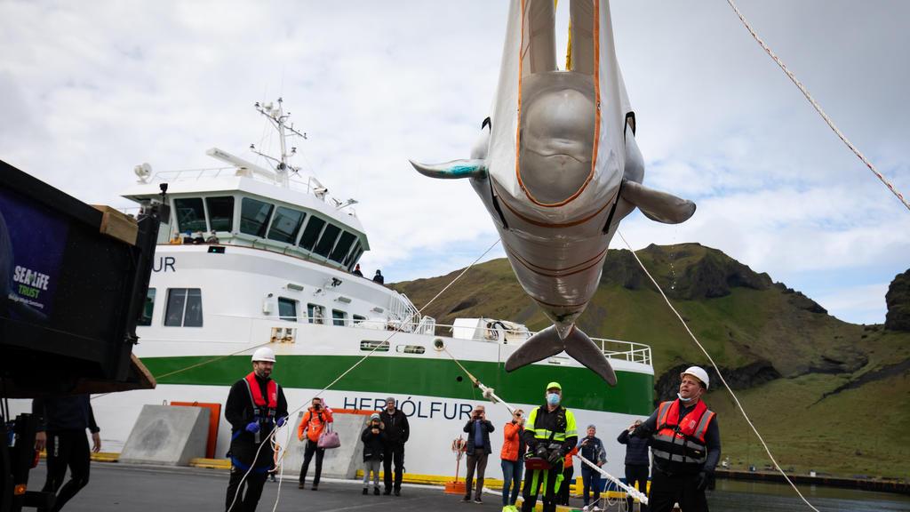 10.08.2020, Island, Westman Islands: Mitarbeiter der Umweltorganisation «Sea Life Trust» transportieren einen Belugawal vorsichtig in einem Netz in ein neues Freiwasserschutzgebiet. Zwei Beluga-Wale mit den Namen Kleiner Grauwal und Kleiner Weißwal w