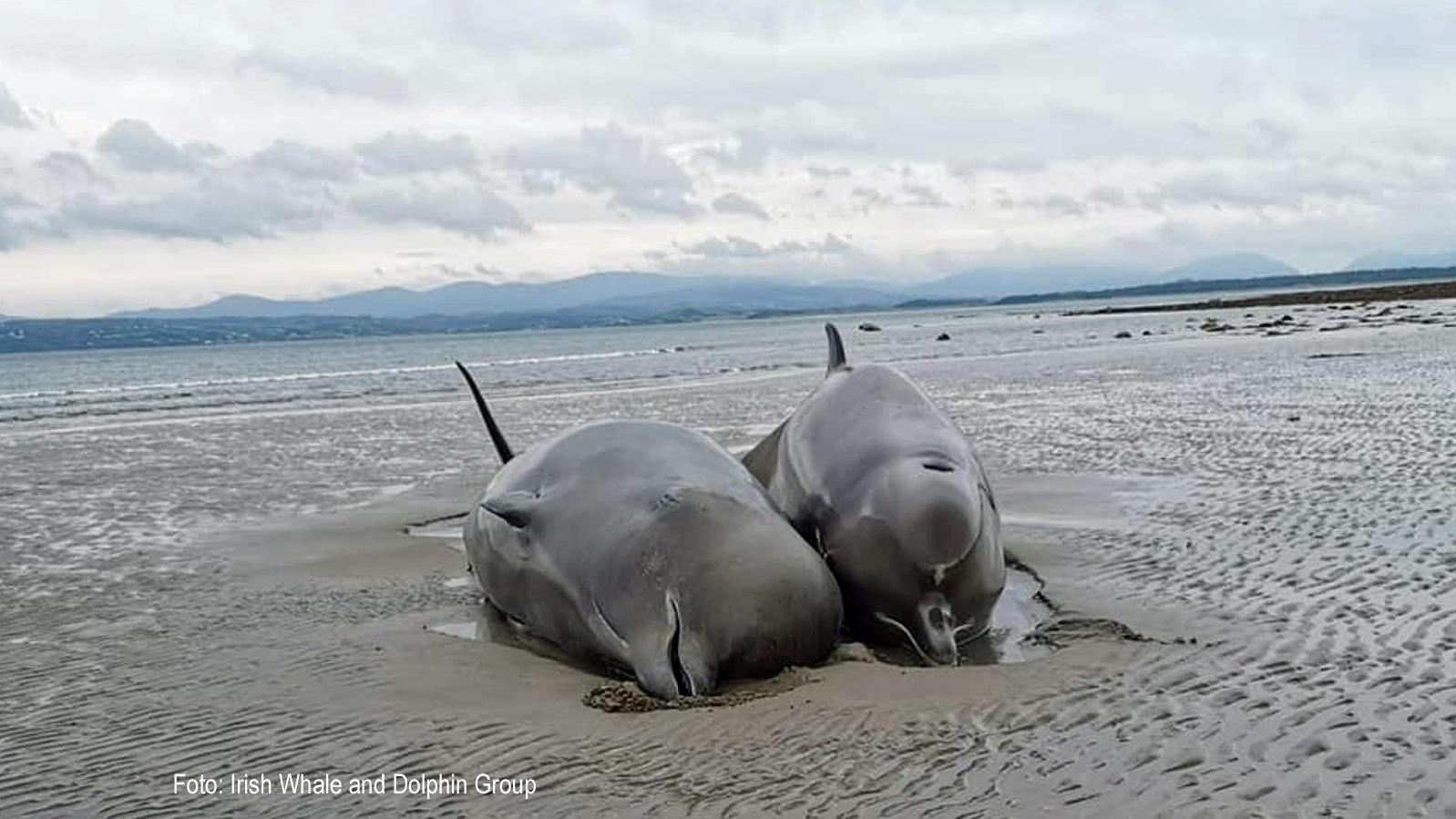 Sieben große Wale sind an der irischen Küste angeschwemmt worden, sechs von ihnen verendeten qualvoll am Strand.