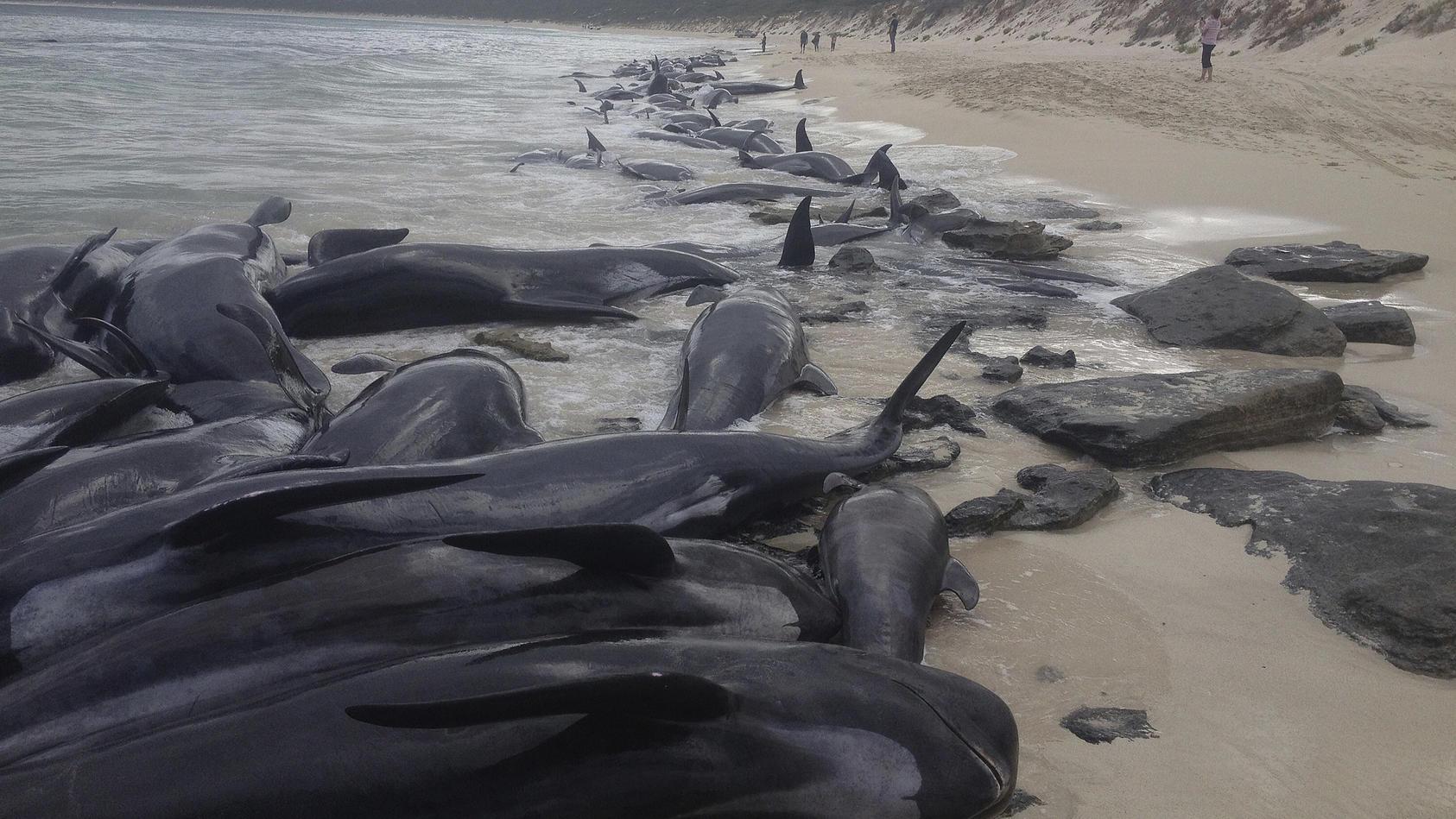 Wale an Australiens Westküste gestrandet