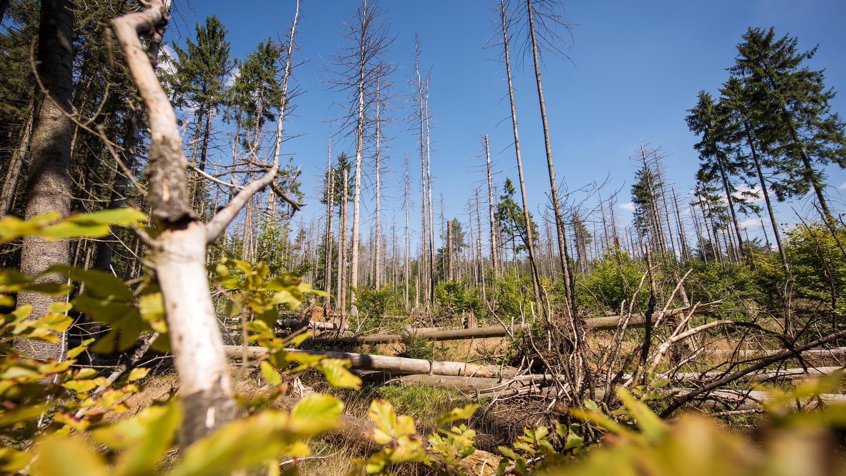 Ein Wald nach Borkenkäferbefall
