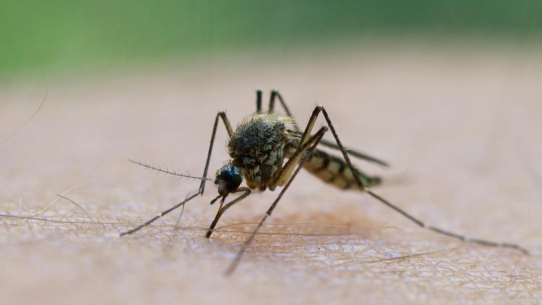 Wie können mückenübertragbare Krankheiten verhindert werden? Daran forschen australische Wissenschaftler.
