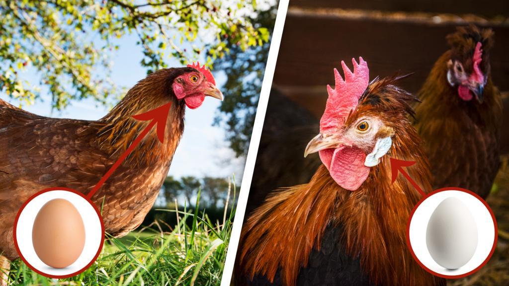 An den Ohrenscheiben des Huhns soll man erkennen können, welche Farbe die Eier (wahrscheinlich) haben.