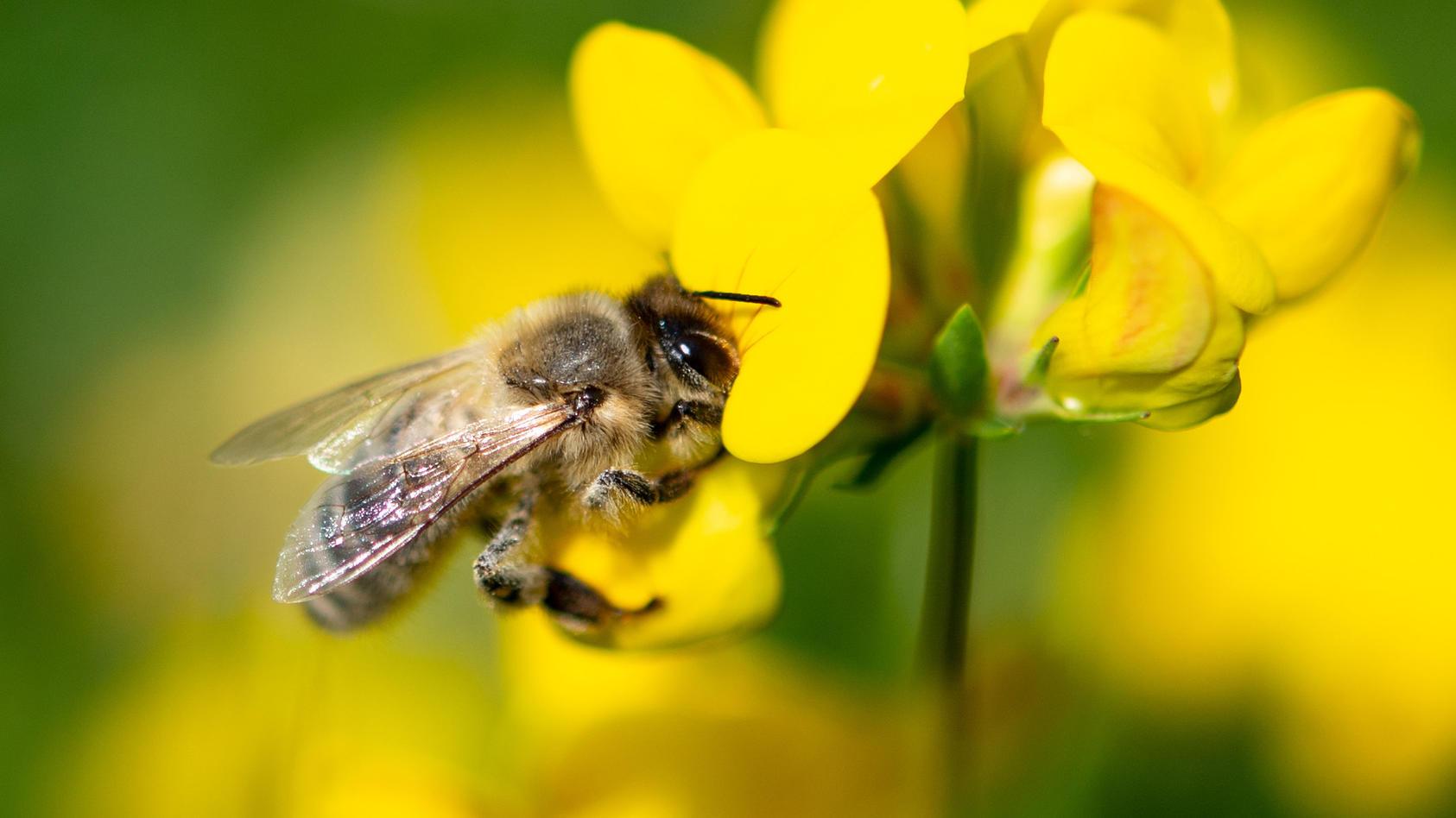 Australische Forscher sicher: Bienengift kann bei Brustkrebs helfen.