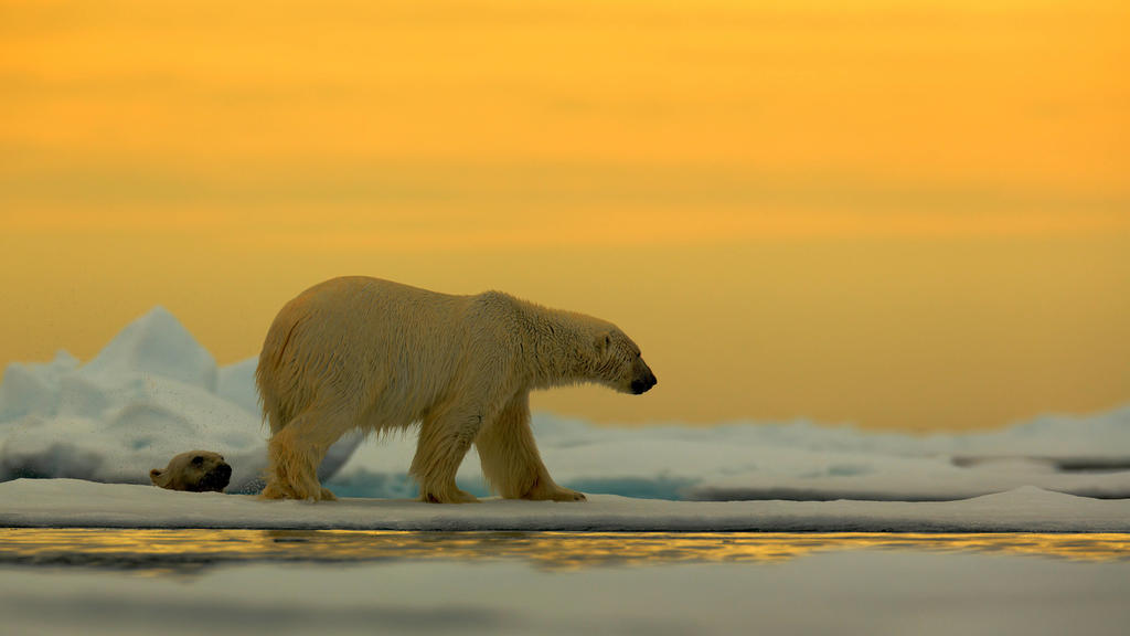 Eisbär Ursus maritimus im Treibeis vor Sonnenuntergang, Spitzbergen, Norwegen *** Polar bear Ursus maritimus in drift ice before sunset, Spitsbergen, Norway Copyright: xOndrejxProsickyx BIA157169
