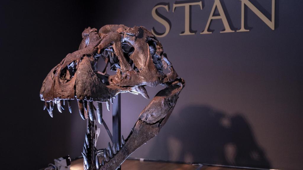 15.09.2020, USA, New York: Der Schädel von Stan, eines der größten und vollständigsten Fossilien des Tyrannosaurus Rex, das entdeckt wurde, ist im Auktionshaus Christie's zu sehen. Das Skelett eines Tyrannosaurus Rex soll in New York für bis zu 8 Mil