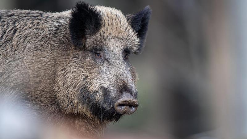 Ein Wildschwein steht in einem Wald. Foto: Lino Mirgeler/dpa/Symbolbild