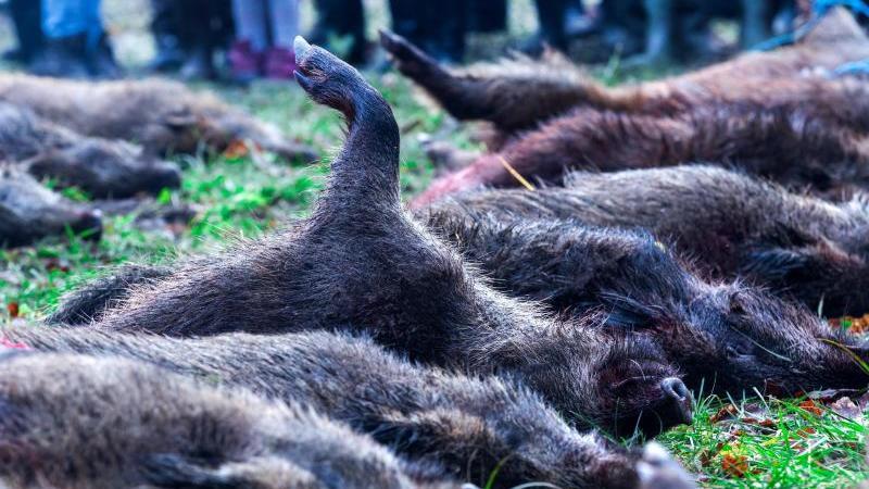 Erlegte Wildschweine nach einer Treibjagd. Nach dem Auftauchen der Afrikanischen Schweinepest wird mit weiteren Funden gerechnet. Foto: Jens Büttner/dpa-Zentralbild/dpa