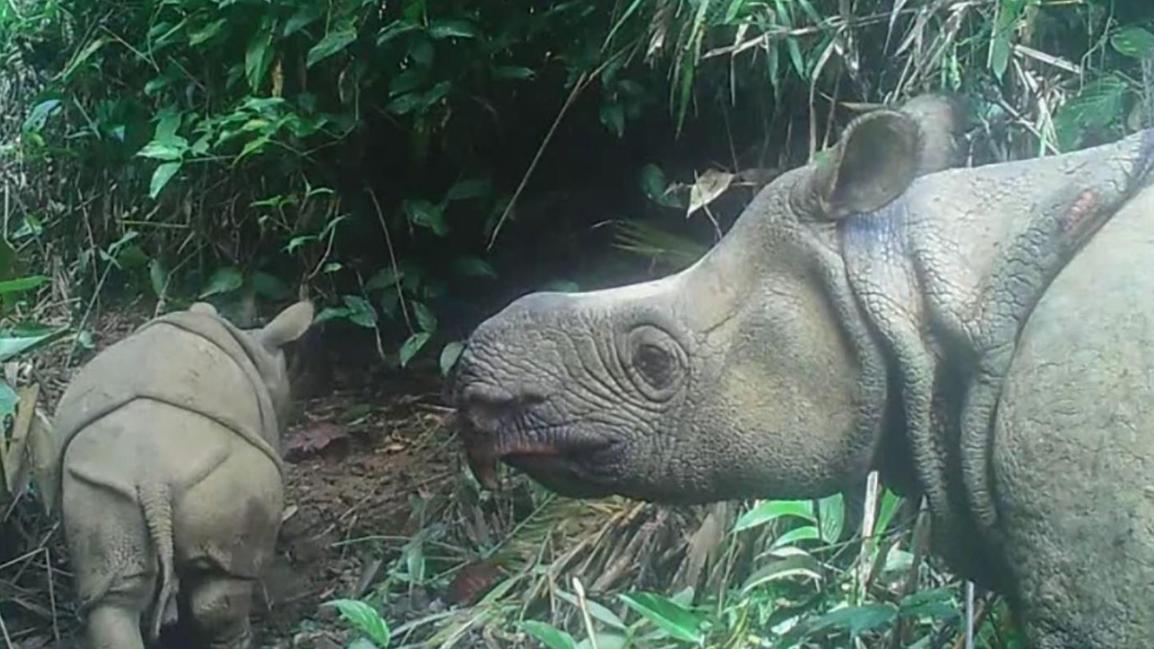 In dem indonesischen Nationalpark Ujung Kulon wurden zwei extrem seltene Java-Nashorn-Jungtiere gesichtet.