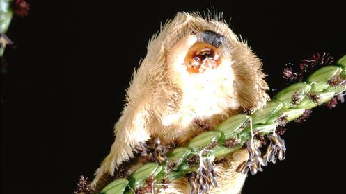 Der nachtaktive und mit Giftstacheln ausgestattete Schmetterling Megalopyge opercularis ist im Süden der USA nicht selten