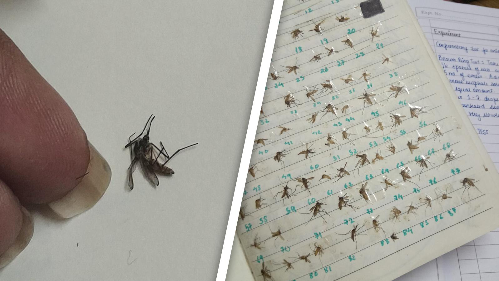 Die Mückensammlerin zeigt links, mit welchem Exemplar ihre Sammlung anfing.