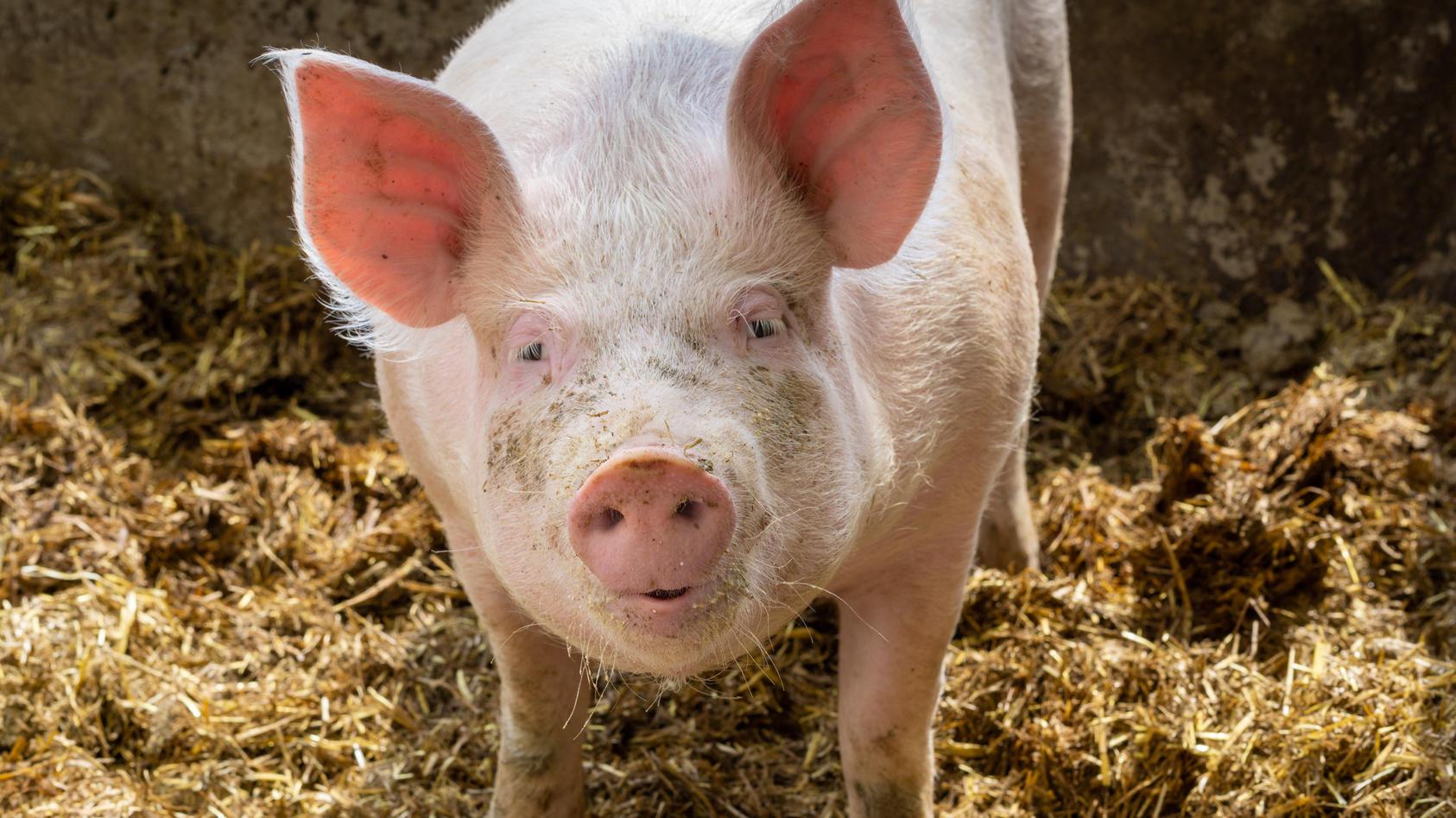 Bisher wurde Sads-CoV nur bei Schweinen nachgewiesen - nun auch bei Menschen? (Symbolbild)