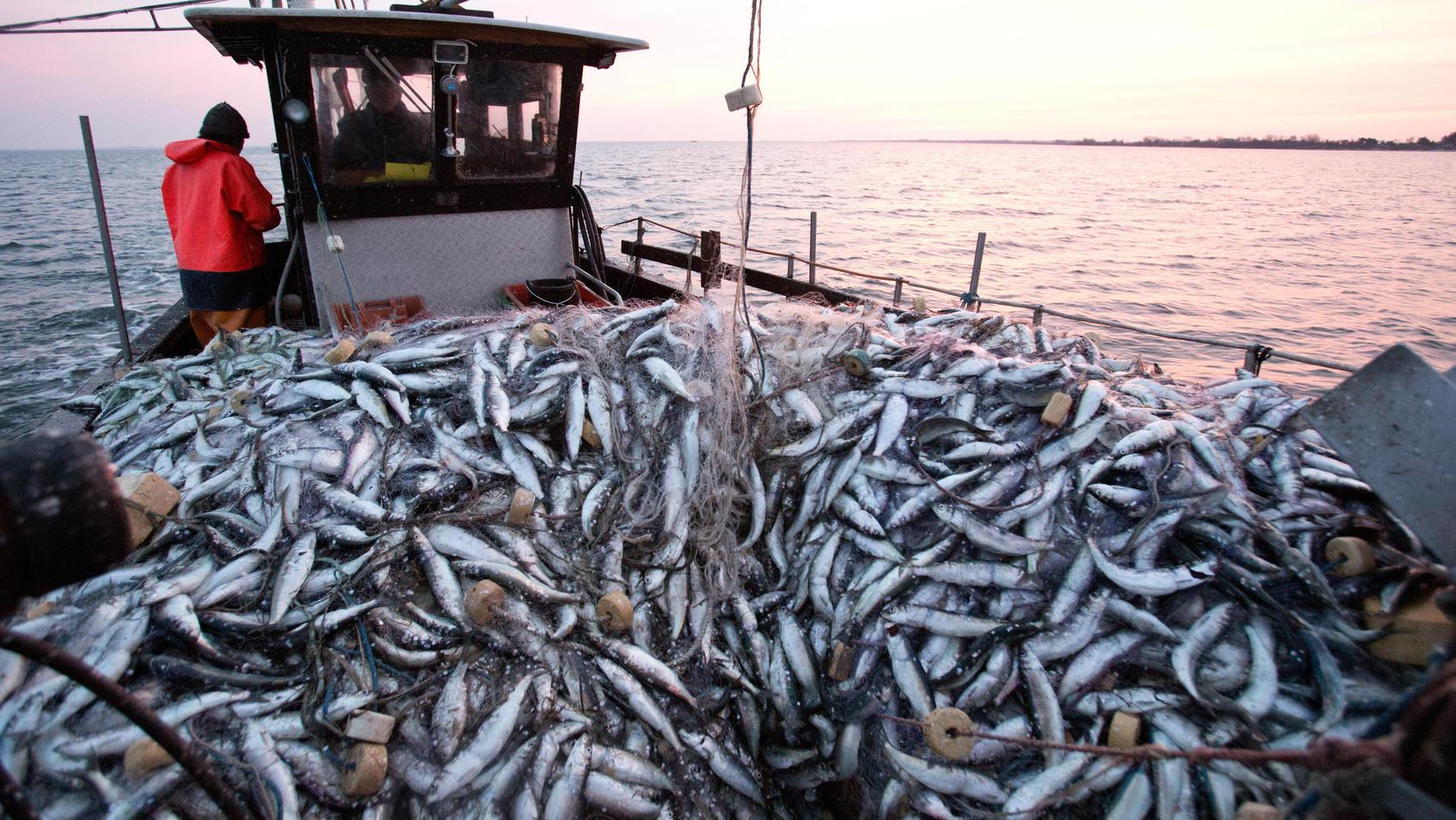 Die Quote für den Fang von Heringen in der Ostsee wird im nächsten Jahr halbiert.