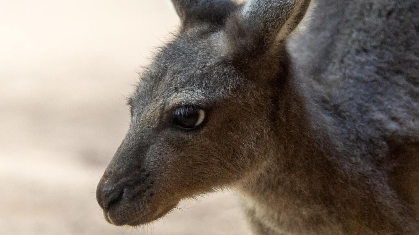 Känguru-Nachwuchs im Basler Zoo