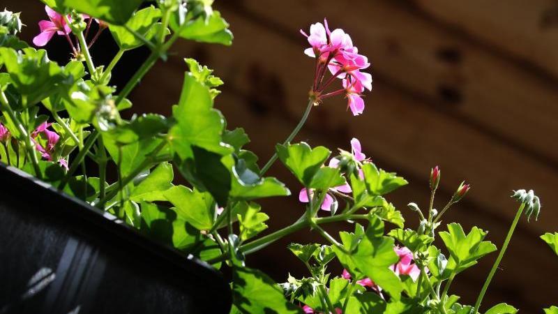 Geranien blühen nicht nur ein Jahr lang. Sie können den Winter überstehen und im nächsten Frühjahr wieder erblühen. Foto: Karl-Josef Hildenbrand/dpa-tmn
