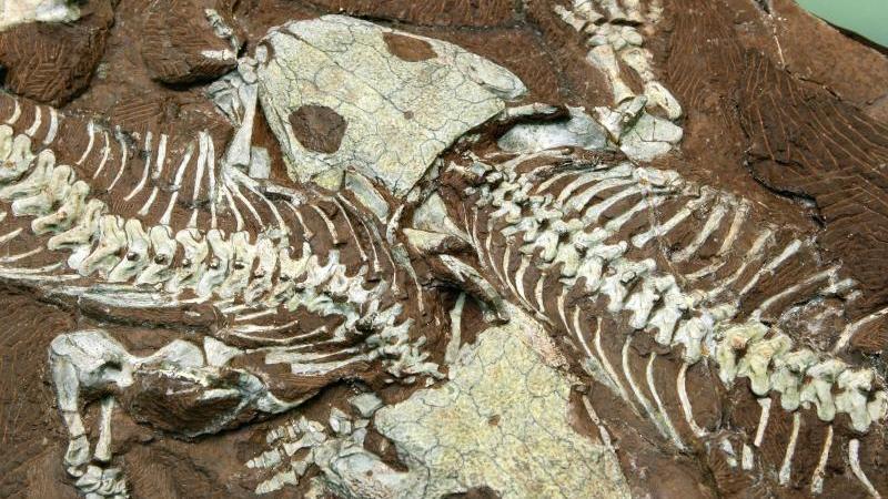 "Der präparierte Fossilienfund zweier Ursaurier, dem ""Tambacher Liebespaar"". Foto: Martin Schutt/dpa-Zentralbild/dpa"