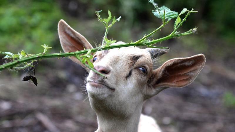 Eine Ziege frisst die Blätter eines Baums. Foto: Harald Tittel/dpa/Archiv/Symbolbild