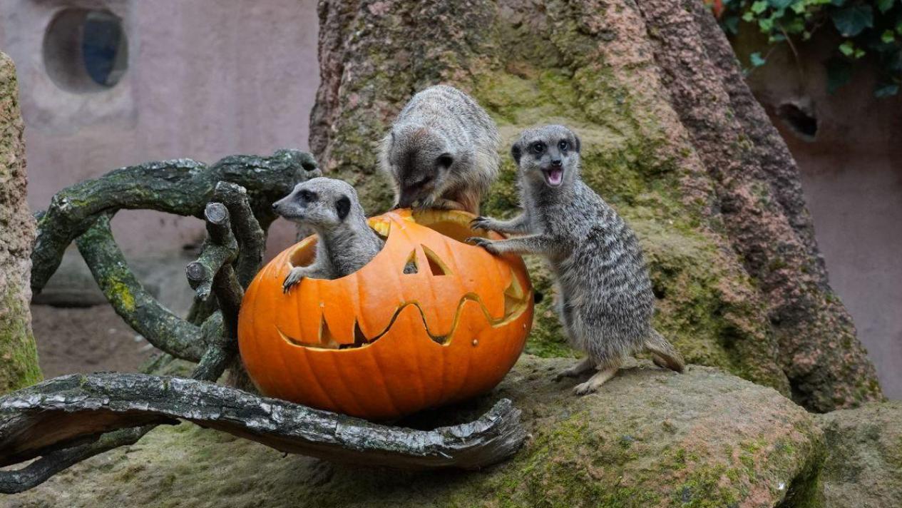 Halloween-Überraschung für die Erdmännchen.