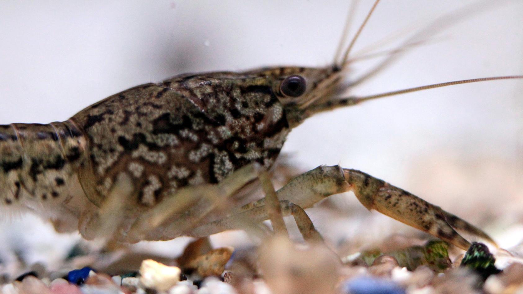 Der Krebs vermehrt sich als einziger derzeit bekannter Flusskrebs durch Jungfernzeugung, Männchen sind unbekannt.