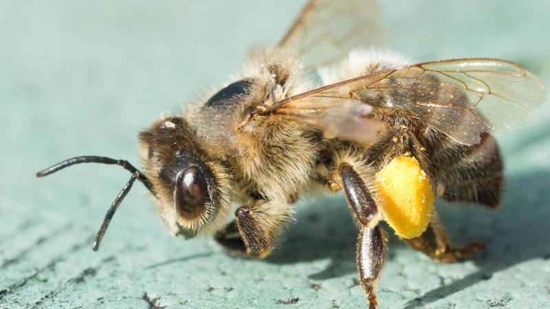 Eine tote Biene mit Blütenpollen an den Hinterbeinen. Foto: Patrick Pleul/dpa-Zentralbild/ZB/Symbolbild